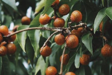albero del sapone